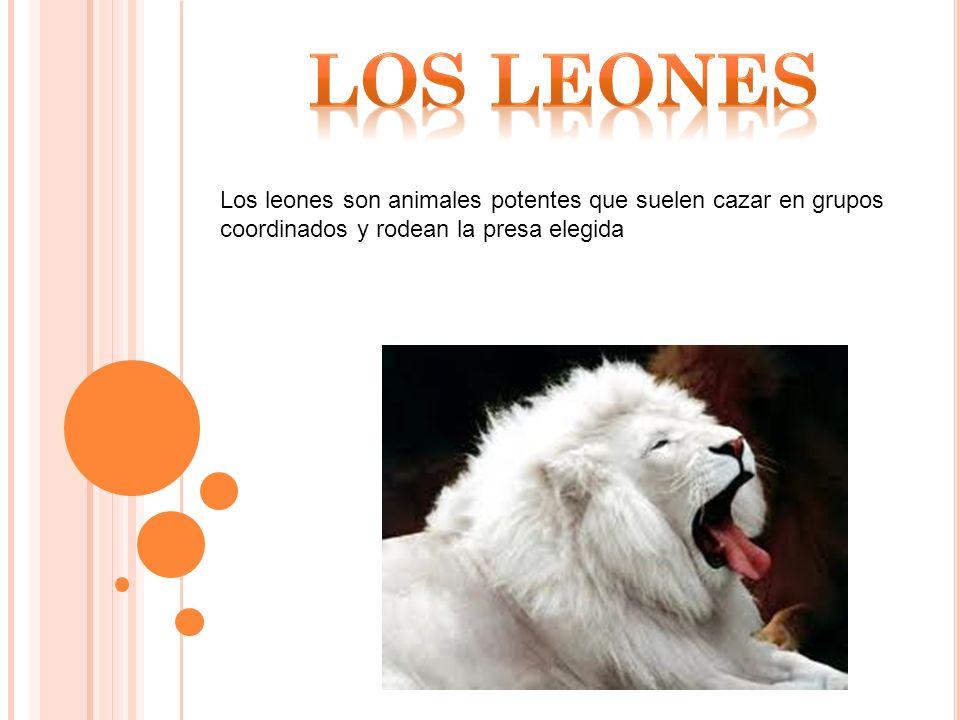 LOS LEONES Los leones son animales potentes que suelen cazar en grupos coordinados y rodean la presa elegida.