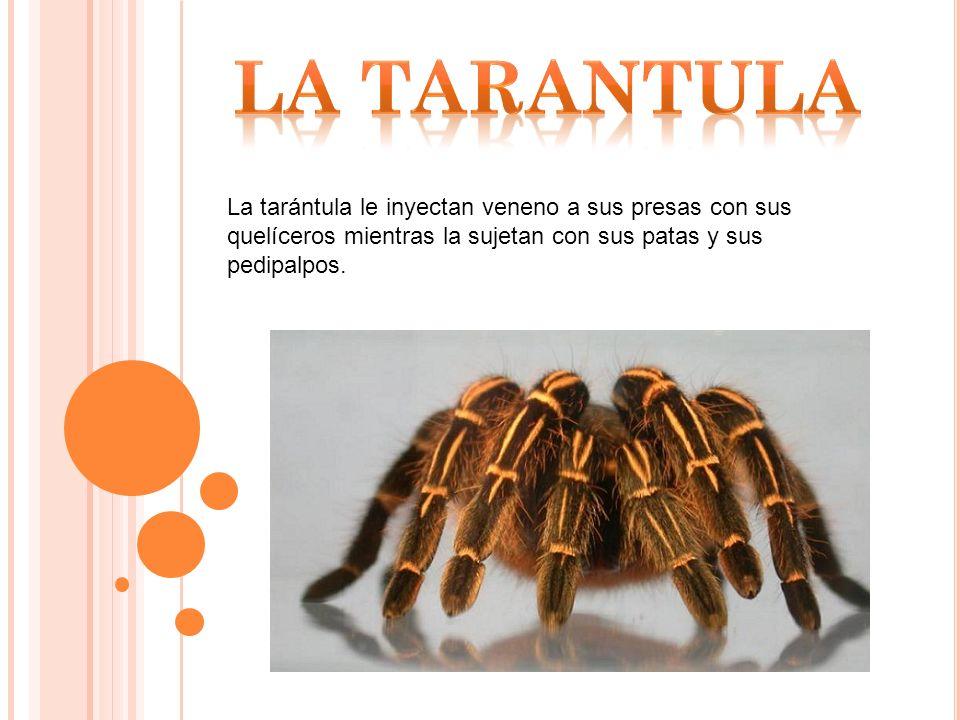 LA TARANTULA La tarántula le inyectan veneno a sus presas con sus quelíceros mientras la sujetan con sus patas y sus pedipalpos.
