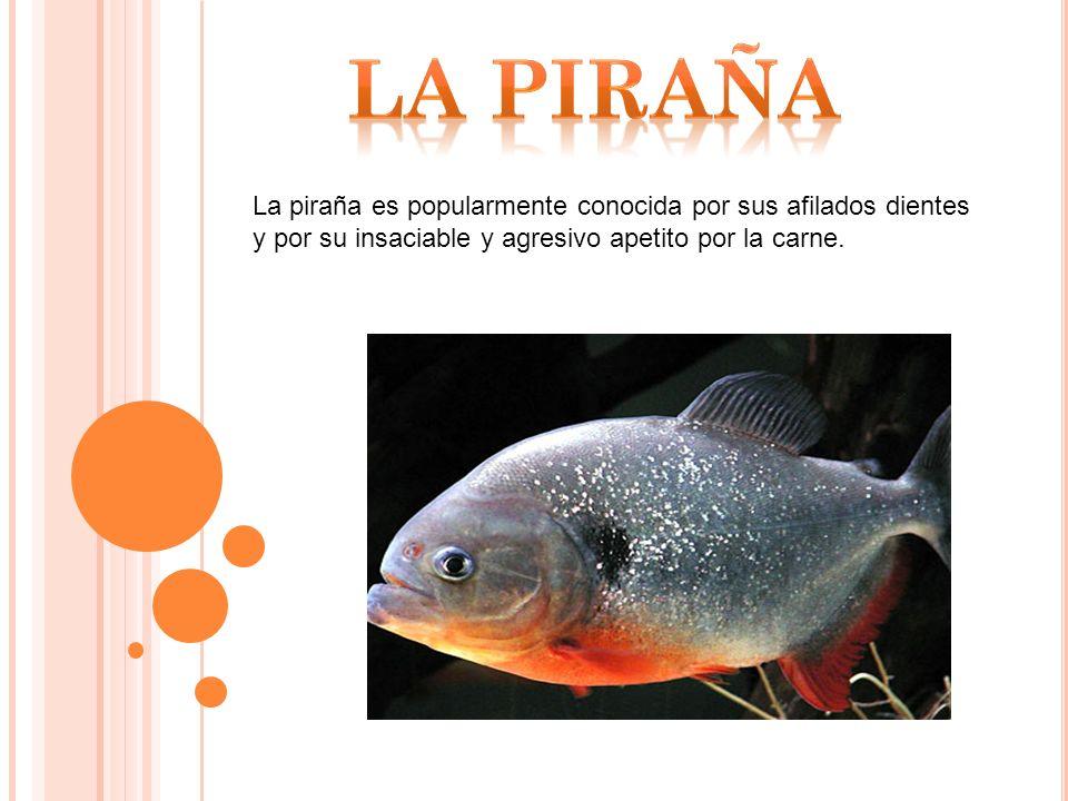 LA PIRAÑA La piraña es popularmente conocida por sus afilados dientes y por su insaciable y agresivo apetito por la carne.