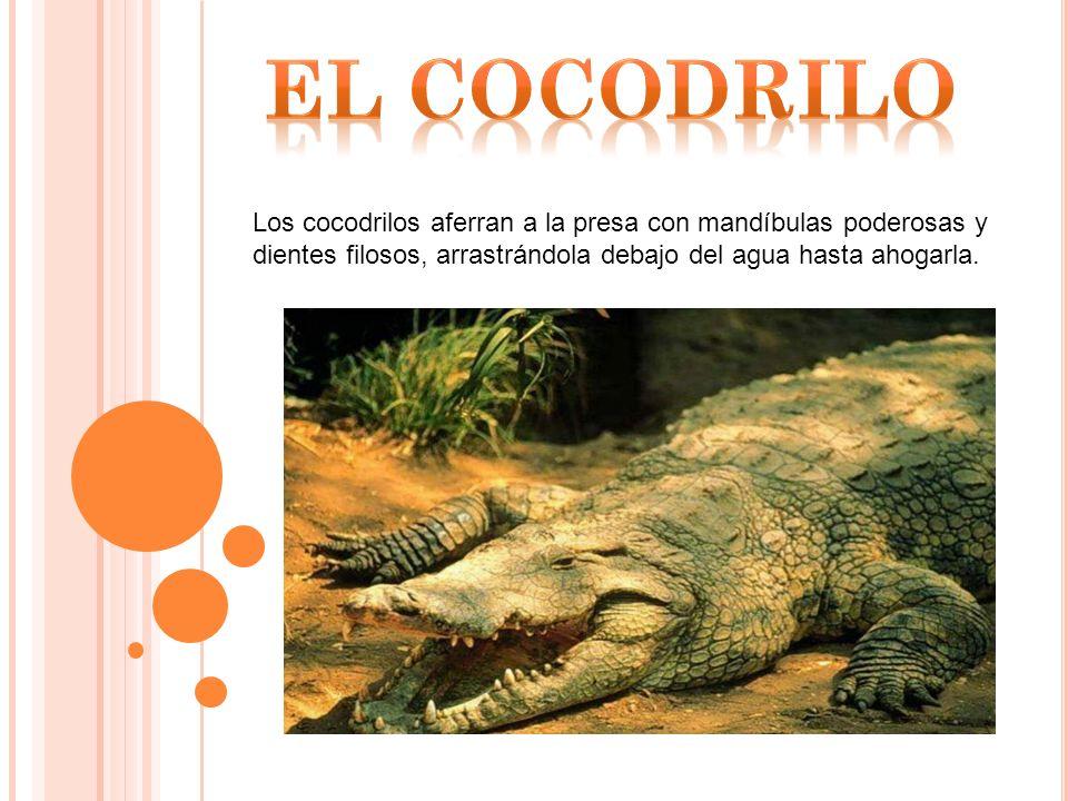 EL COCODRILO Los cocodrilos aferran a la presa con mandíbulas poderosas y dientes filosos, arrastrándola debajo del agua hasta ahogarla.