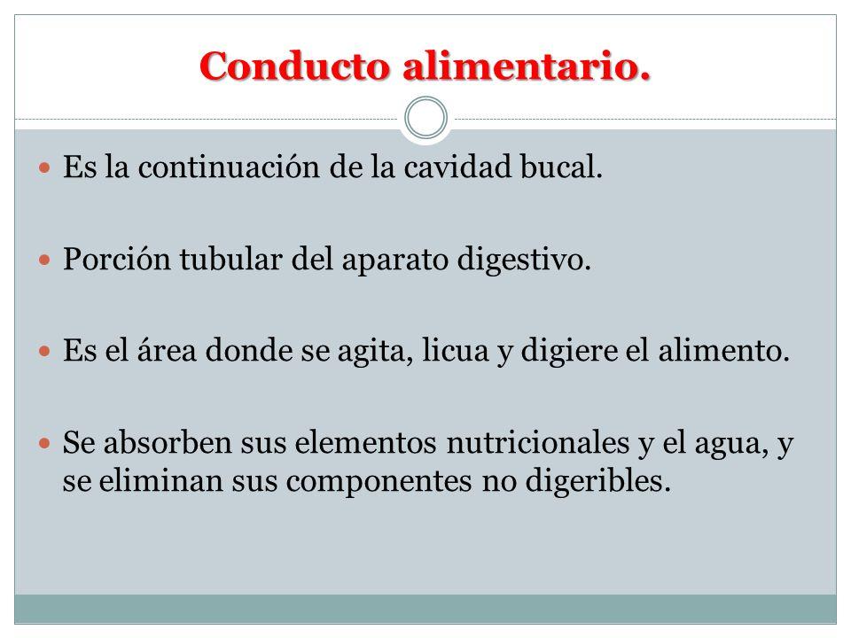 Conducto alimentario. Es la continuación de la cavidad bucal.