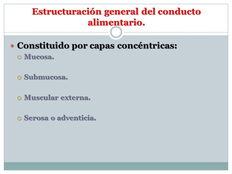 Estructuración general del conducto alimentario.