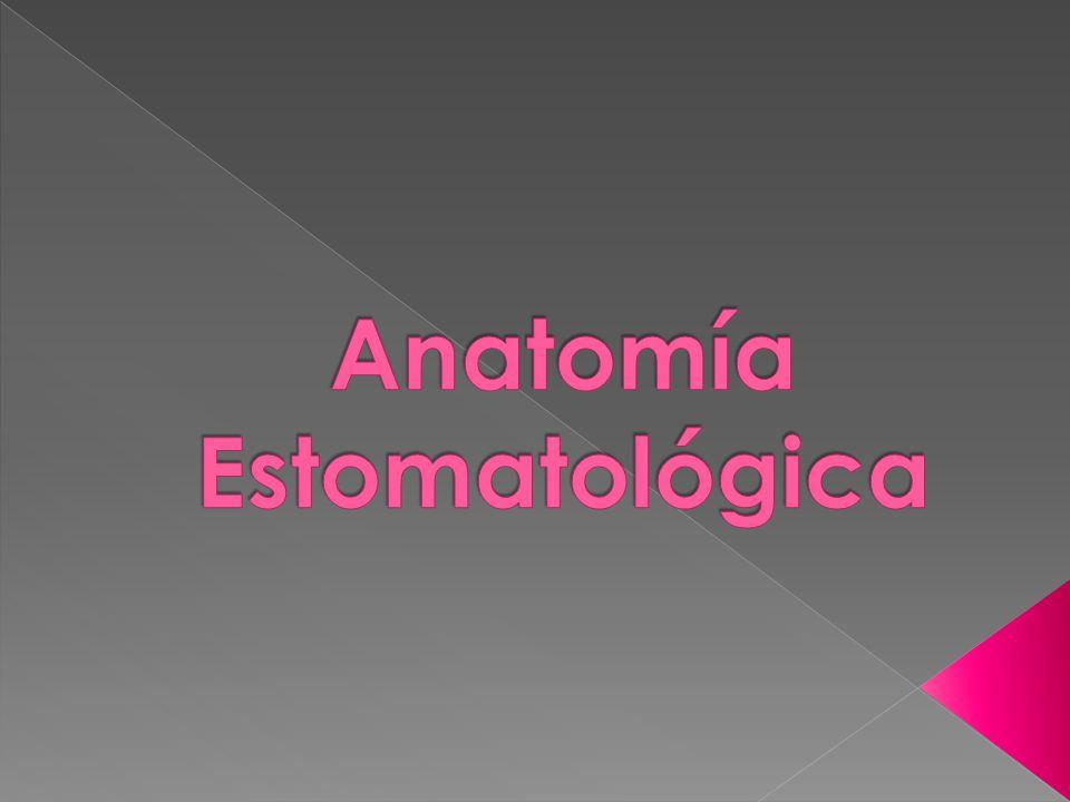 Anatomía Estomatológica