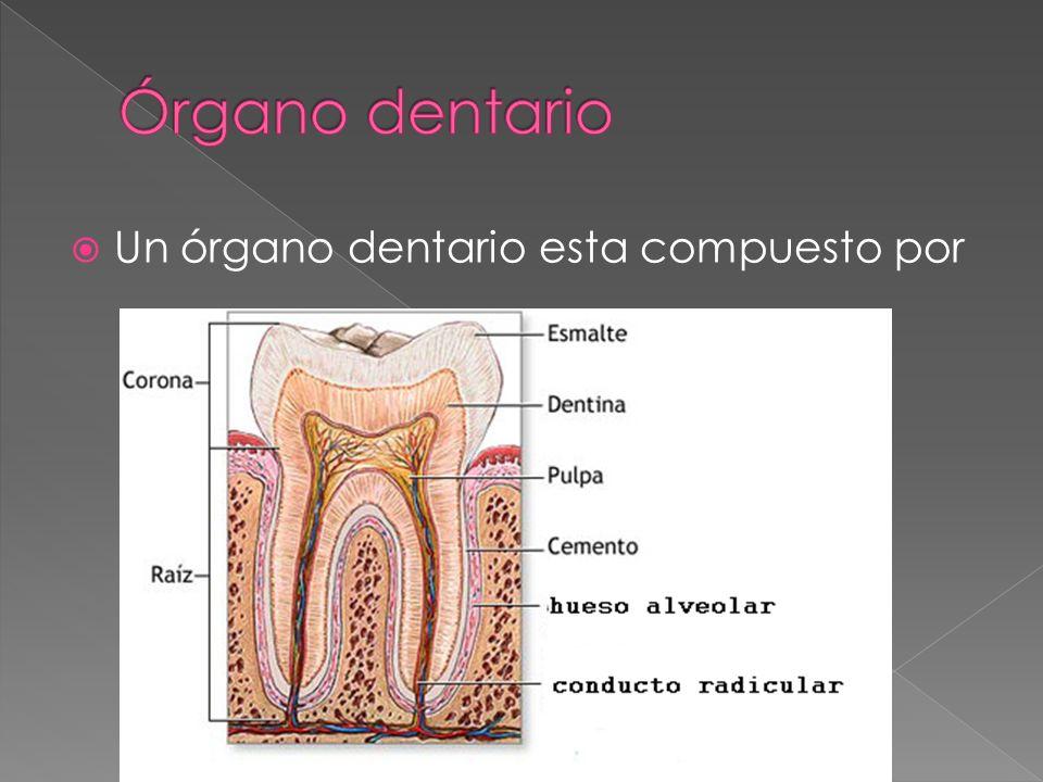Órgano dentario Un órgano dentario esta compuesto por