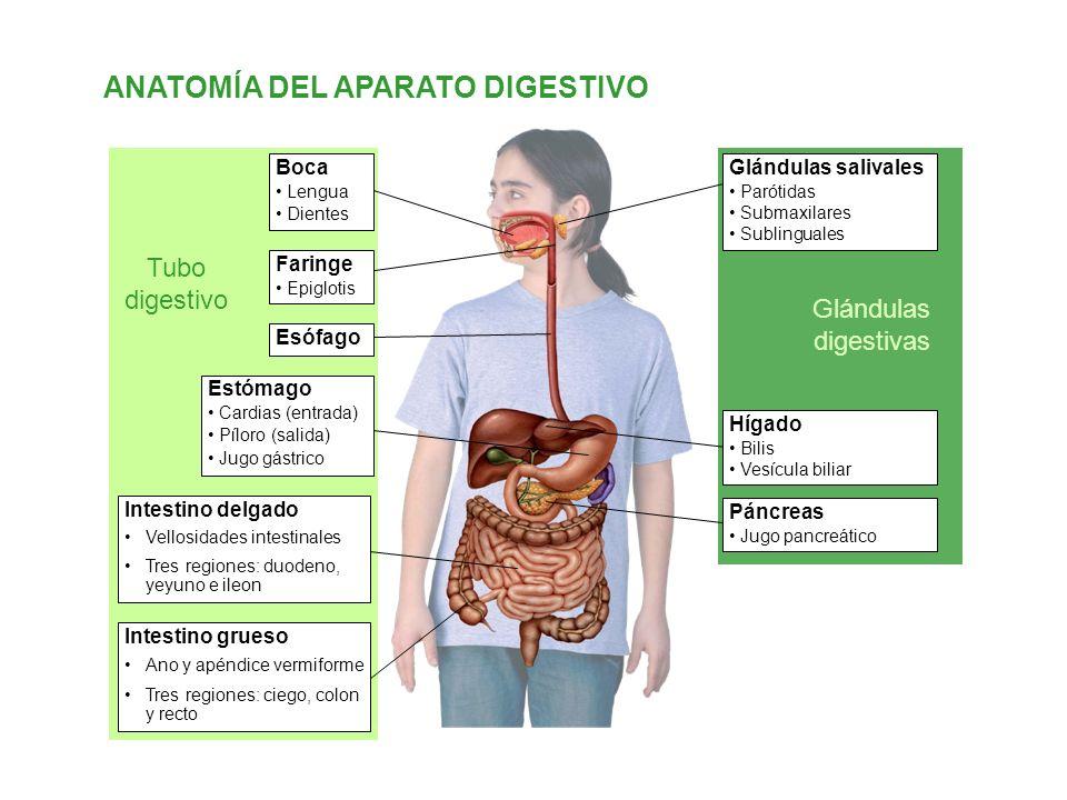 ANATOMÍA DEL APARATO DIGESTIVO
