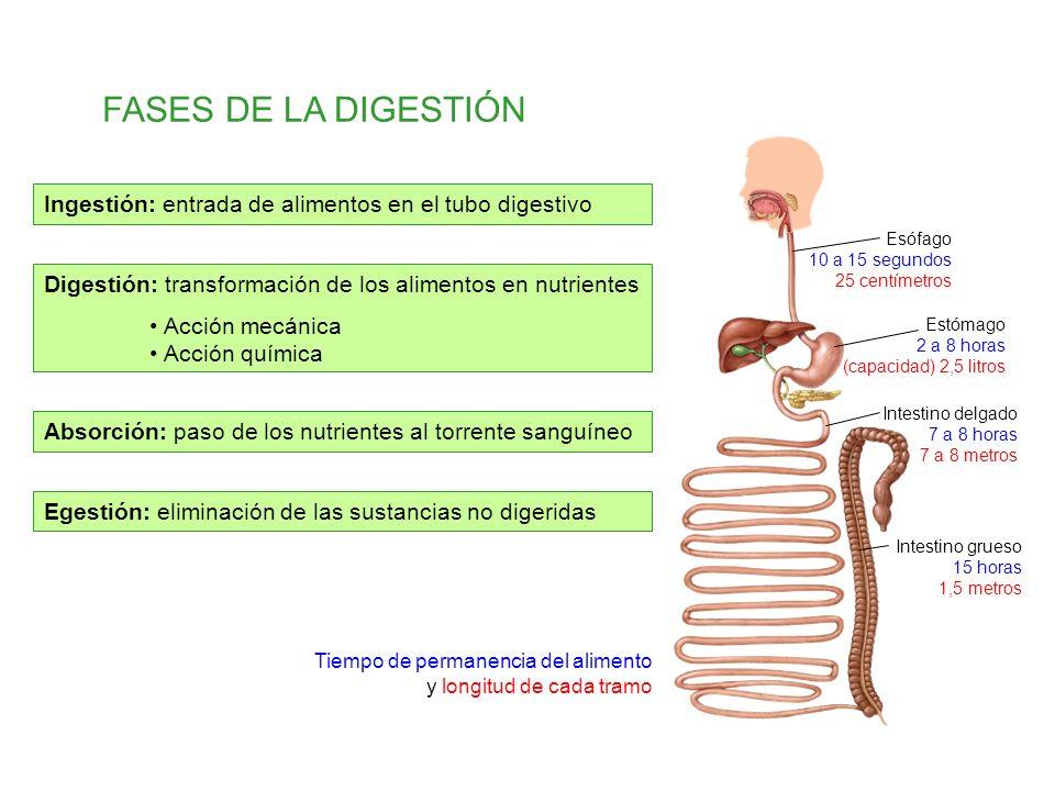 FASES DE LA DIGESTIÓN Ingestión: entrada de alimentos en el tubo digestivo. Esófago 10 a 15 segundos 25 centímetros.