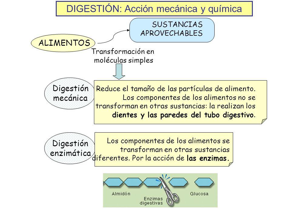DIGESTIÓN: Acción mecánica y química