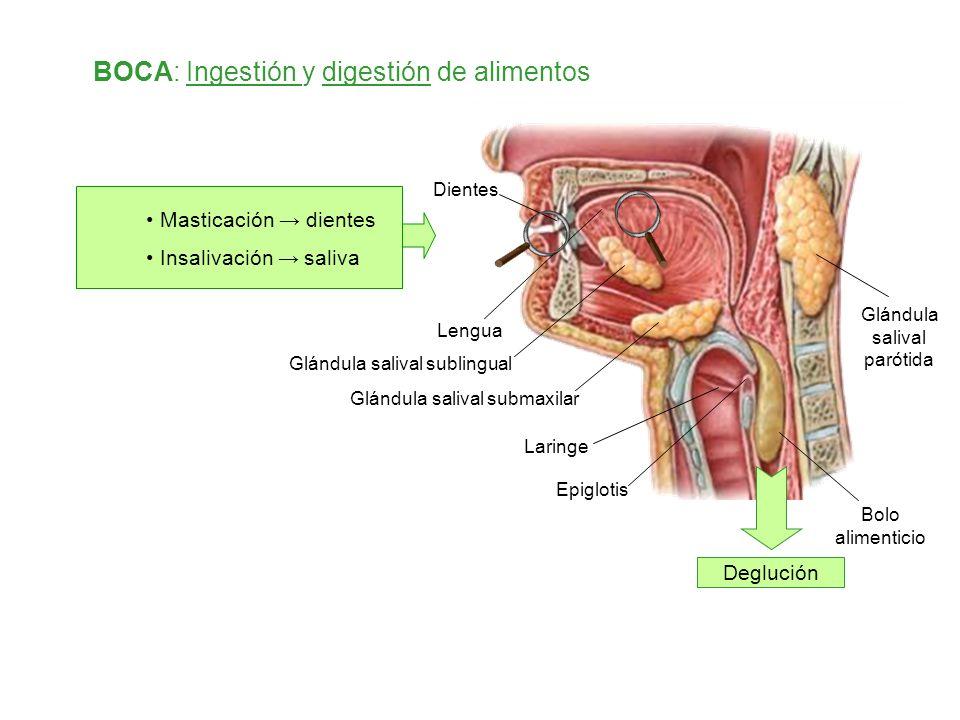 Glándula salival parótida