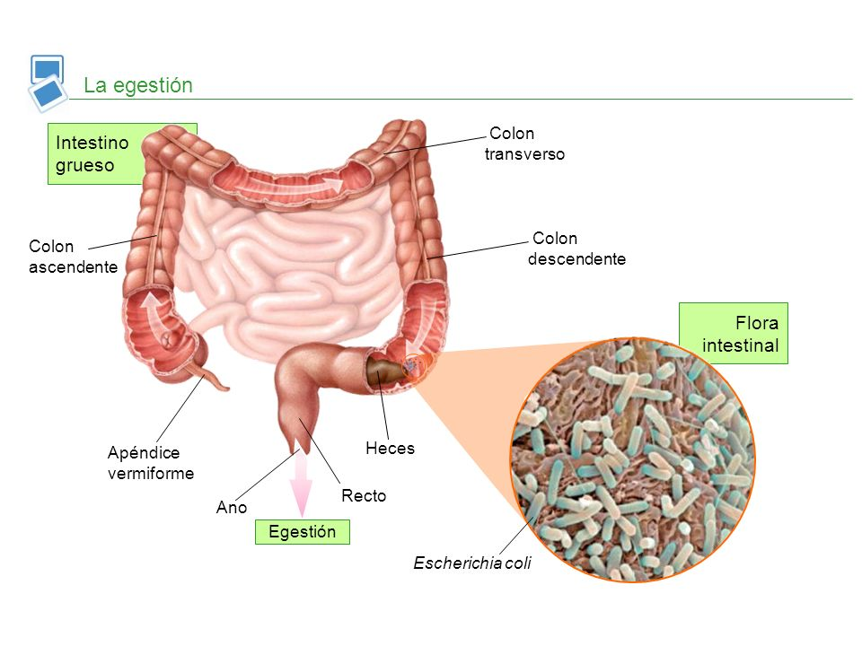 La egestión Intestino grueso Flora intestinal Colon transverso