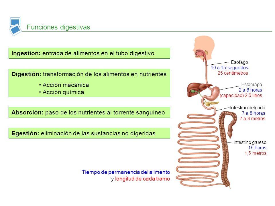 Funciones digestivas Ingestión: entrada de alimentos en el tubo digestivo. Esófago 10 a 15 segundos 25 centímetros.