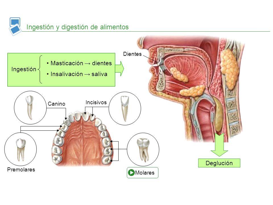 Ingestión y digestión de alimentos