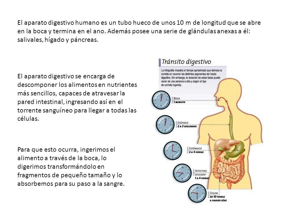 El aparato digestivo humano es un tubo hueco de unos 10 m de longitud que se abre en la boca y termina en el ano. Además posee una serie de glándulas anexas a él: salivales, hígado y páncreas.