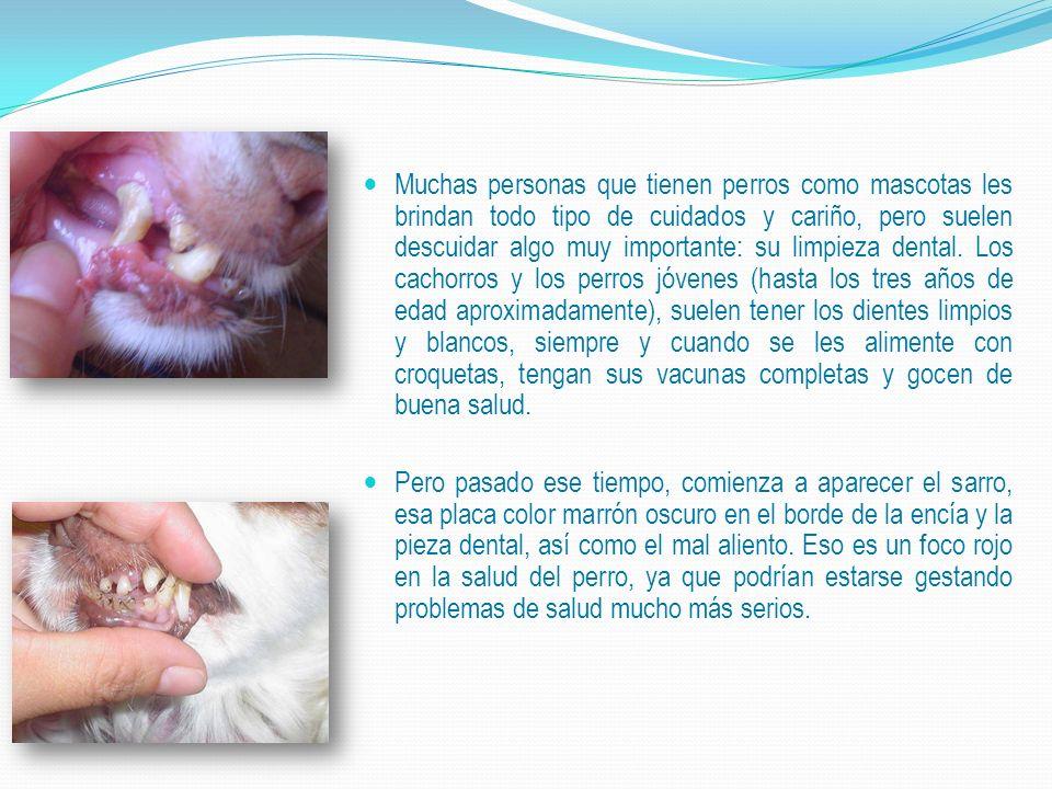 Muchas personas que tienen perros como mascotas les brindan todo tipo de cuidados y cariño, pero suelen descuidar algo muy importante: su limpieza dental. Los cachorros y los perros jóvenes (hasta los tres años de edad aproximadamente), suelen tener los dientes limpios y blancos, siempre y cuando se les alimente con croquetas, tengan sus vacunas completas y gocen de buena salud.