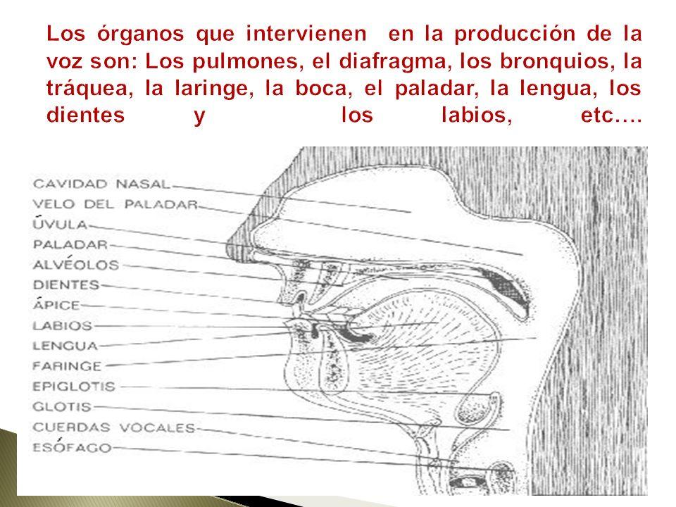 Los órganos que intervienen en la producción de la voz son: Los pulmones, el diafragma, los bronquios, la tráquea, la laringe, la boca, el paladar, la lengua, los dientes y los labios, etc….