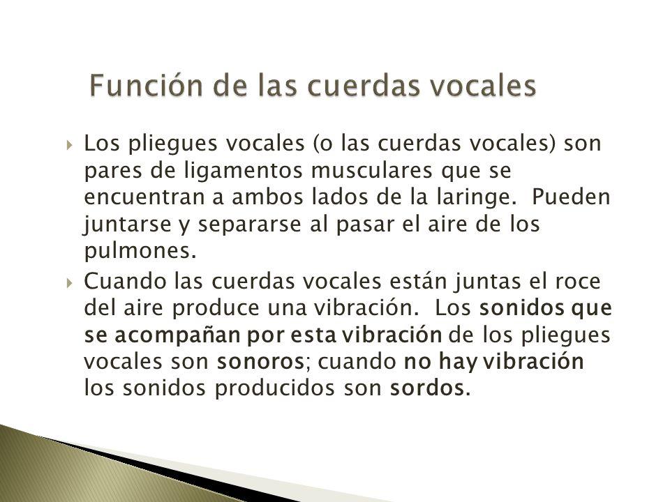 Función de las cuerdas vocales