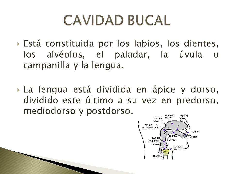 CAVIDAD BUCAL Está constituida por los labios, los dientes, los alvéolos, el paladar, la úvula o campanilla y la lengua.