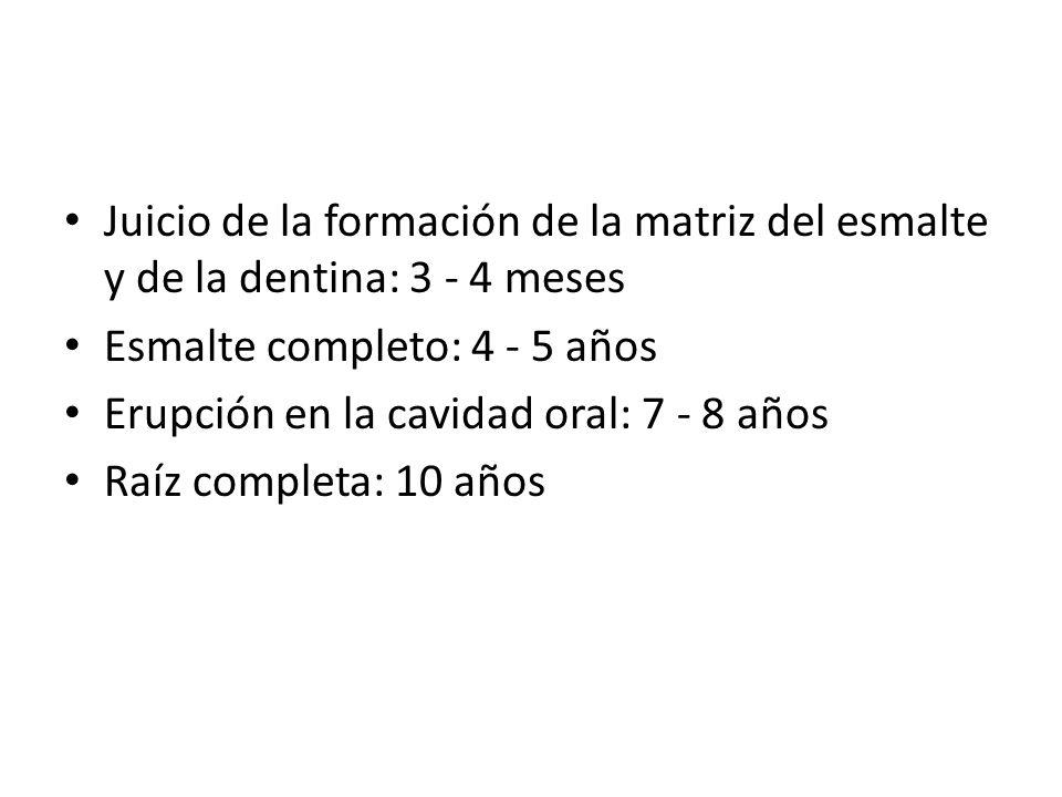 Juicio de la formación de la matriz del esmalte y de la dentina: 3 - 4 meses