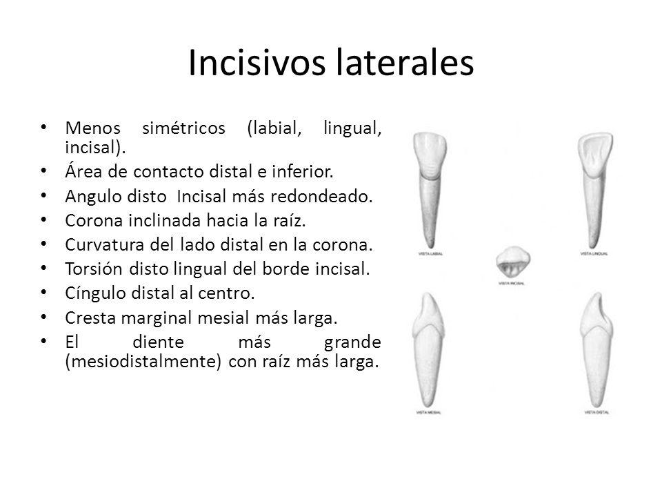Incisivos laterales Menos simétricos (labial, lingual, incisal).