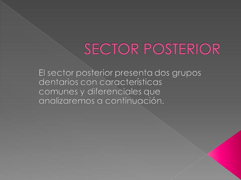 SECTOR POSTERIOR El sector posterior presenta dos grupos dentarios con características comunes y diferenciales que analizaremos a continuación.