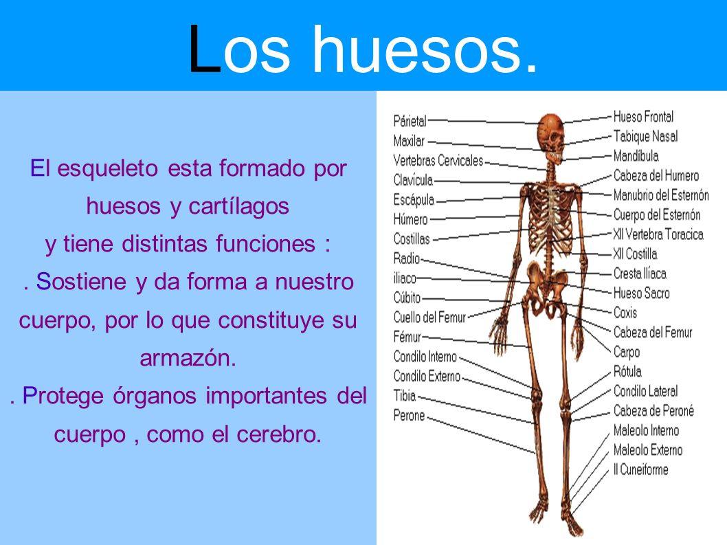 Los huesos. El esqueleto esta formado por huesos y cartílagos