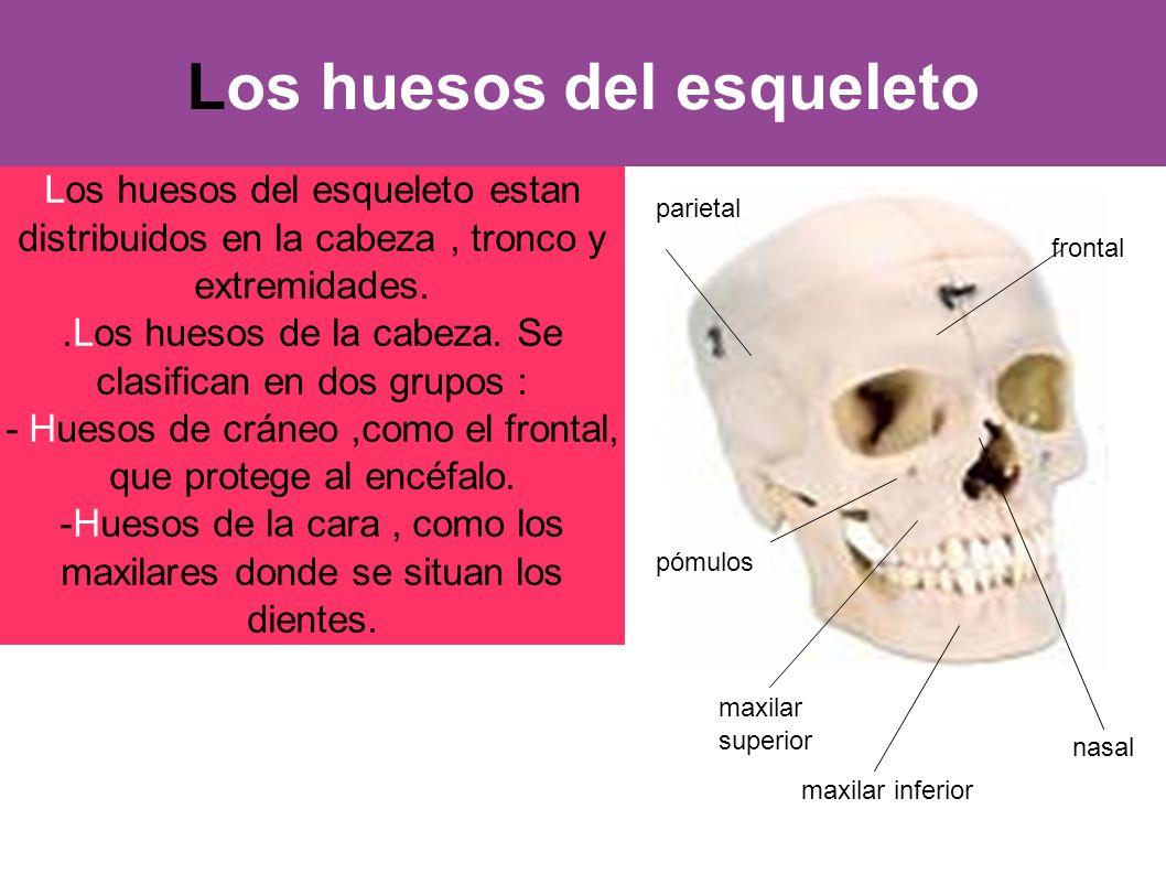 Los huesos del esqueleto