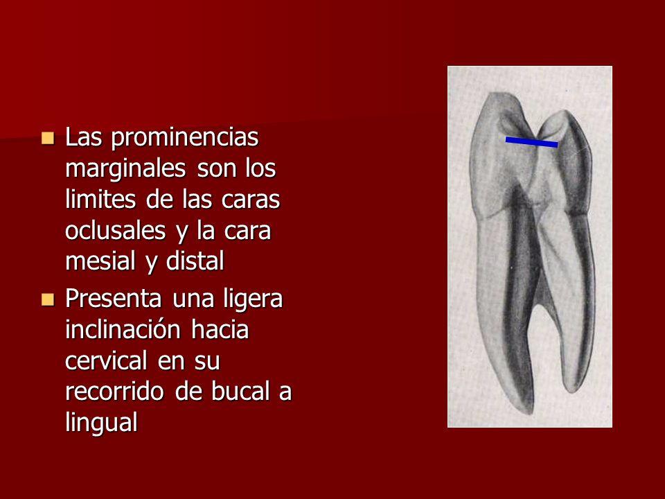 Las prominencias marginales son los limites de las caras oclusales y la cara mesial y distal