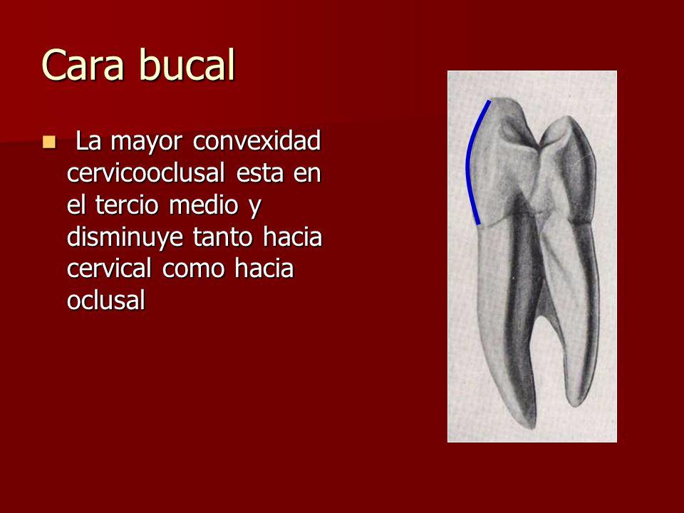 Cara bucal La mayor convexidad cervicooclusal esta en el tercio medio y disminuye tanto hacia cervical como hacia oclusal.