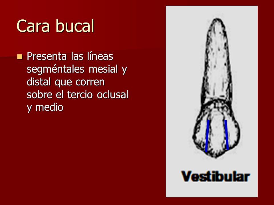 Cara bucal Presenta las líneas segméntales mesial y distal que corren sobre el tercio oclusal y medio.