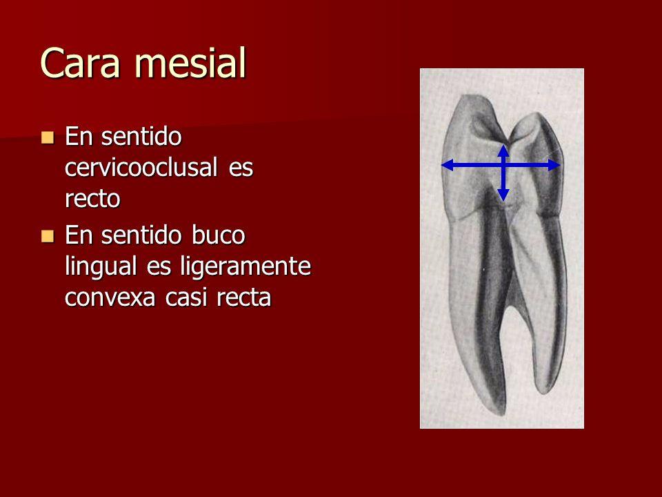 Cara mesial En sentido cervicooclusal es recto