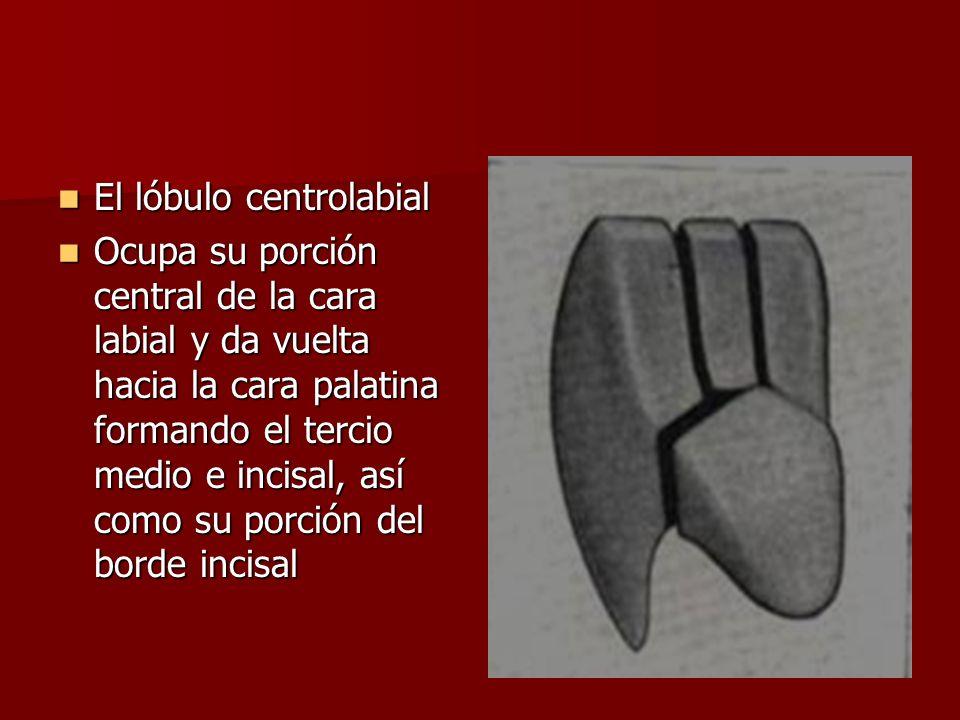 El lóbulo centrolabial