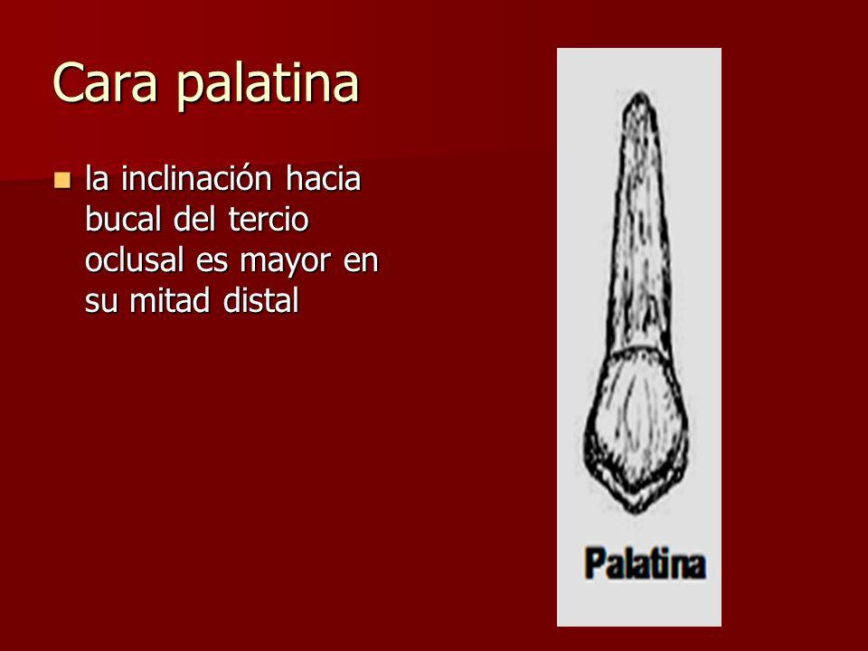 Cara palatina la inclinación hacia bucal del tercio oclusal es mayor en su mitad distal