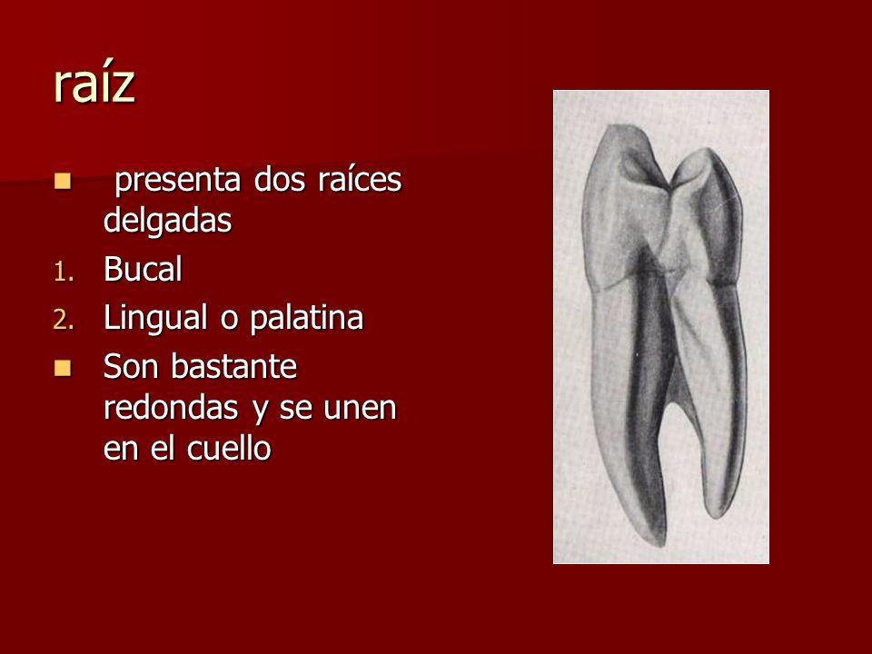 raíz presenta dos raíces delgadas Bucal Lingual o palatina