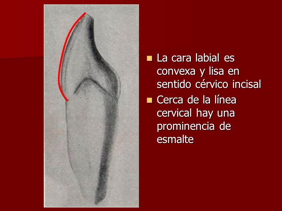 La cara labial es convexa y lisa en sentido cérvico incisal