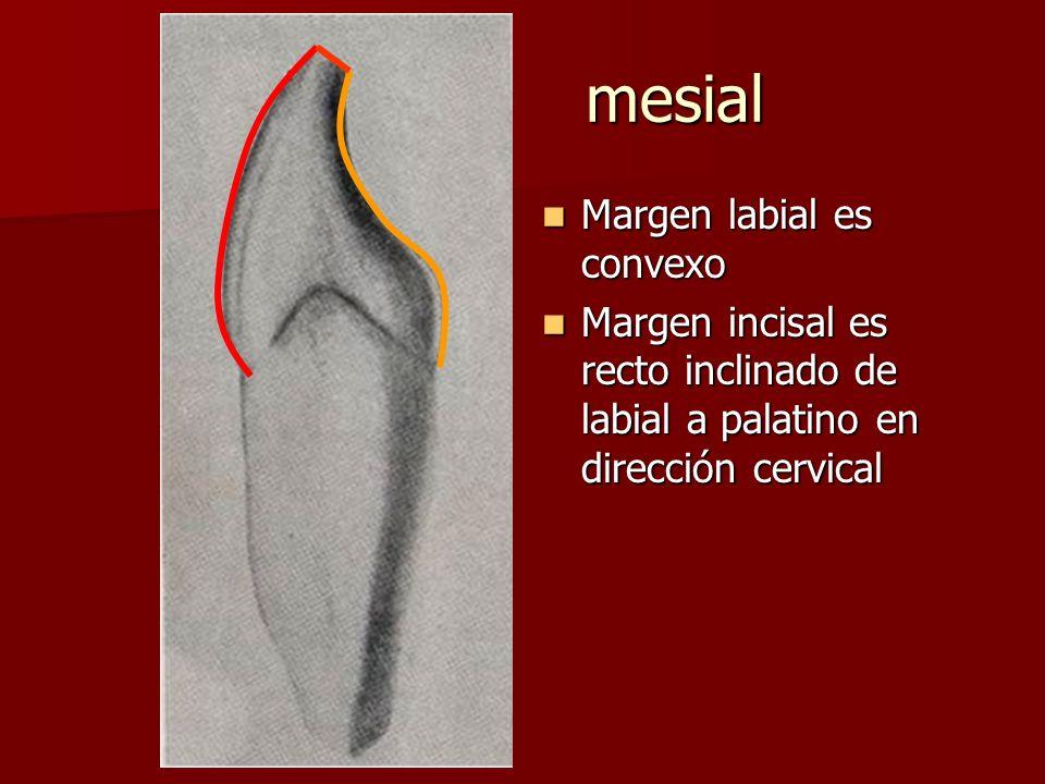 mesial Margen labial es convexo