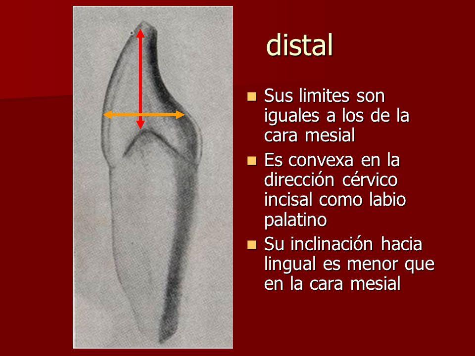 distal Sus limites son iguales a los de la cara mesial