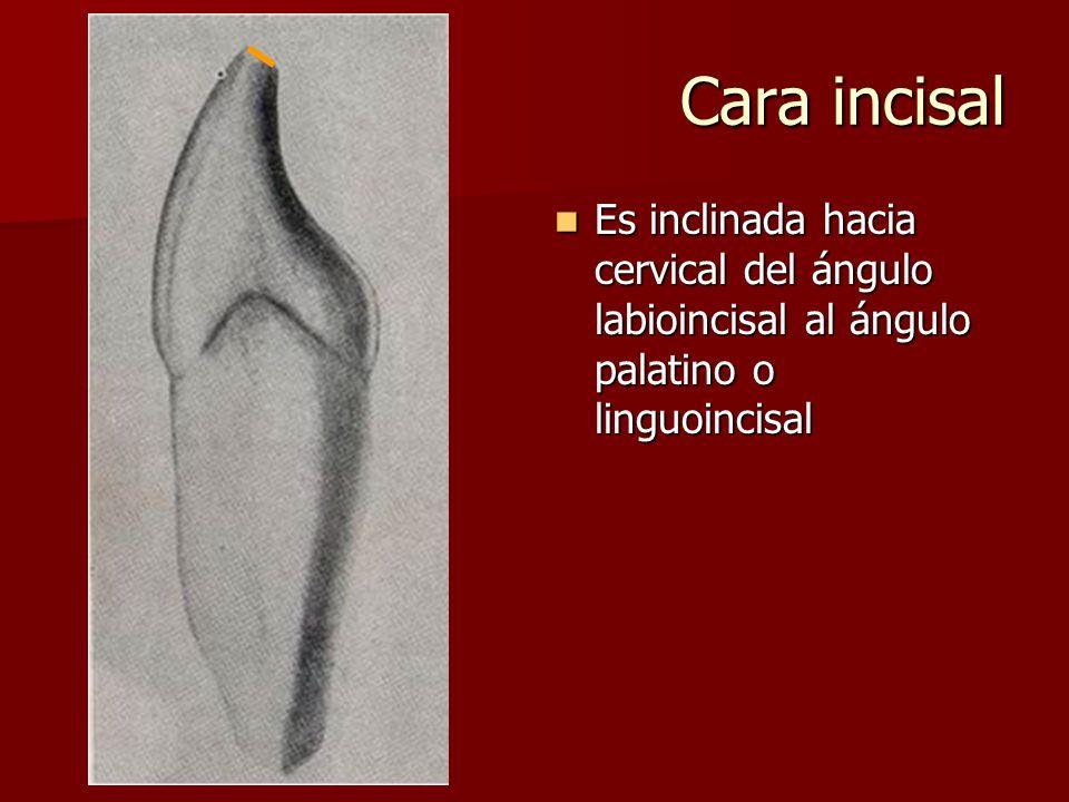 Cara incisal Es inclinada hacia cervical del ángulo labioincisal al ángulo palatino o linguoincisal