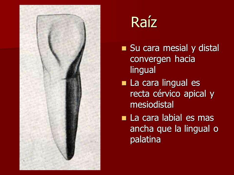 Raíz Su cara mesial y distal convergen hacia lingual