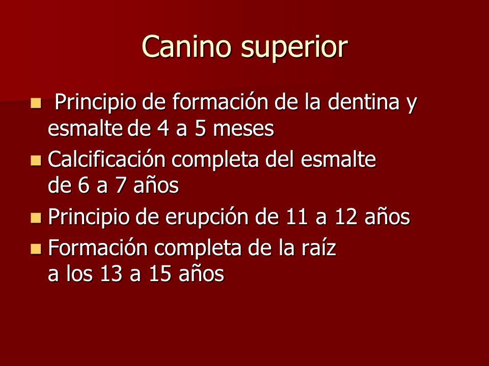 Canino superior Principio de formación de la dentina y esmalte de 4 a 5 meses. Calcificación completa del esmalte de 6 a 7 años.