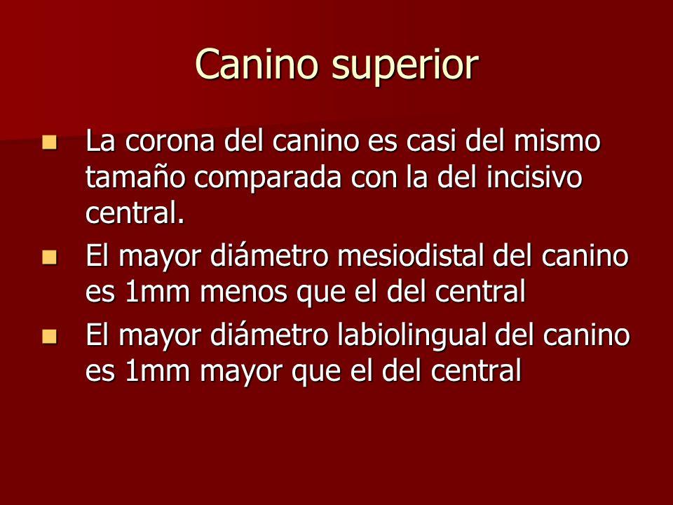 Canino superior La corona del canino es casi del mismo tamaño comparada con la del incisivo central.