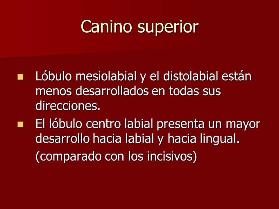 Canino superior Lóbulo mesiolabial y el distolabial están menos desarrollados en todas sus direcciones.