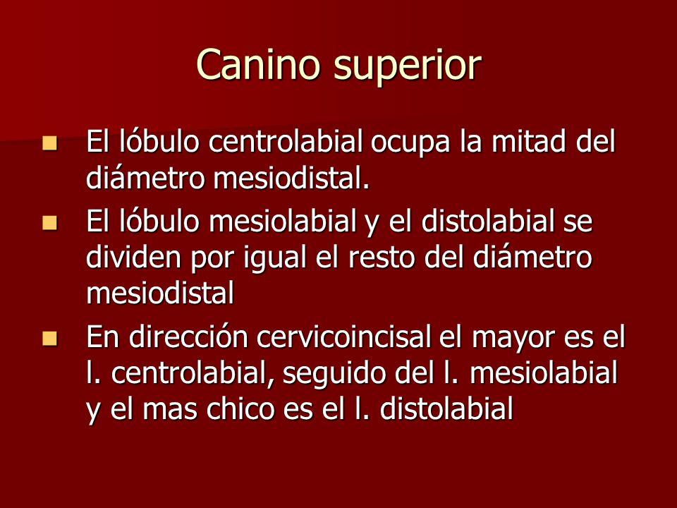 Canino superior El lóbulo centrolabial ocupa la mitad del diámetro mesiodistal.