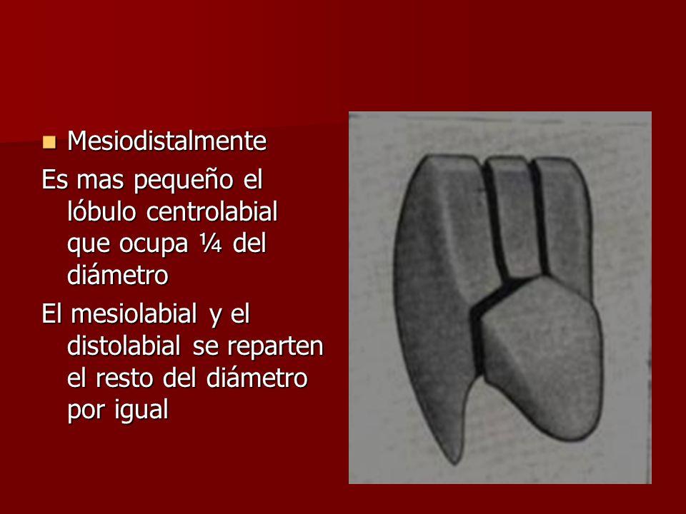 Mesiodistalmente Es mas pequeño el lóbulo centrolabial que ocupa ¼ del diámetro.
