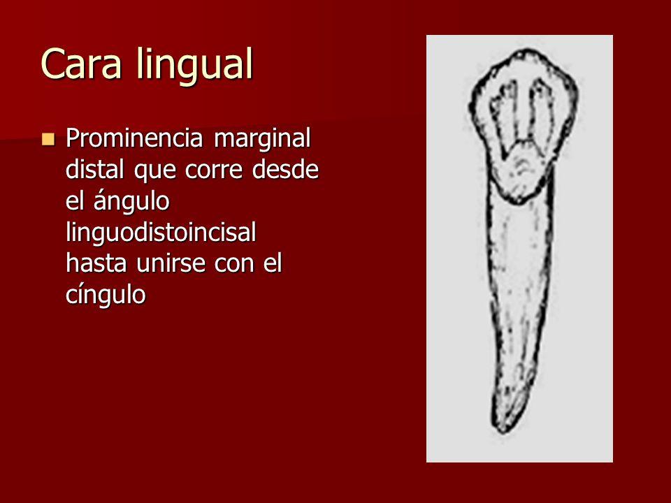 Cara lingual Prominencia marginal distal que corre desde el ángulo linguodistoincisal hasta unirse con el cíngulo.