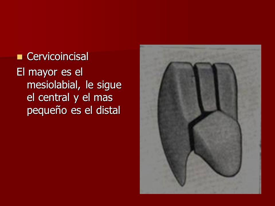 Cervicoincisal El mayor es el mesiolabial, le sigue el central y el mas pequeño es el distal