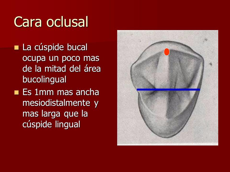 Cara oclusal La cúspide bucal ocupa un poco mas de la mitad del área bucolingual.