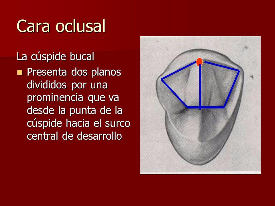 Cara oclusal La cúspide bucal
