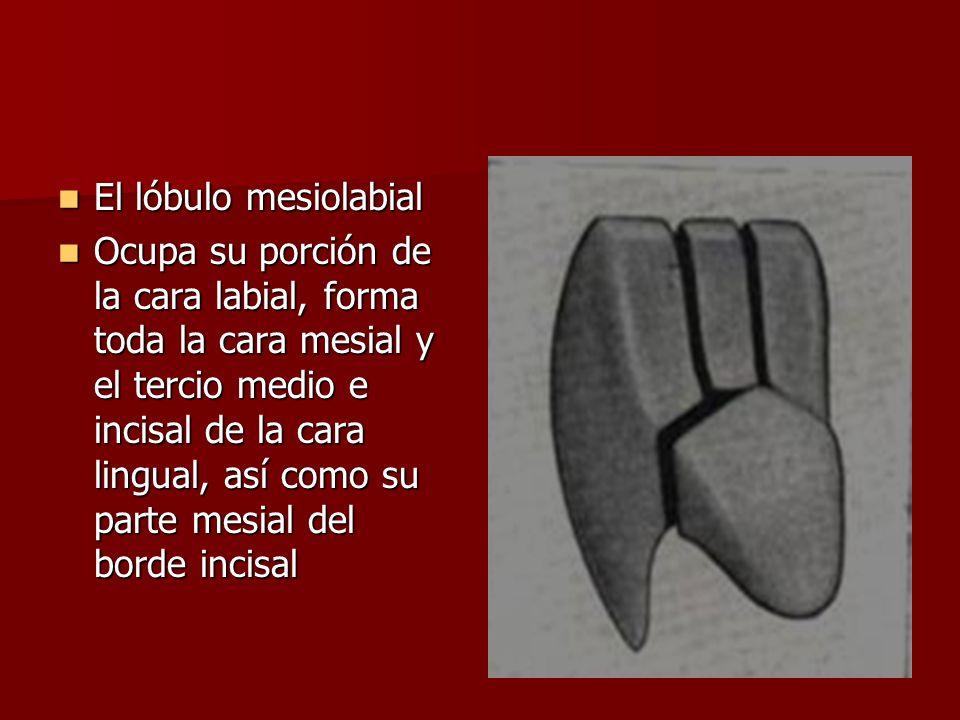 El lóbulo mesiolabial
