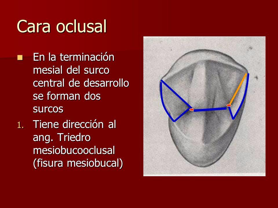 Cara oclusal En la terminación mesial del surco central de desarrollo se forman dos surcos.