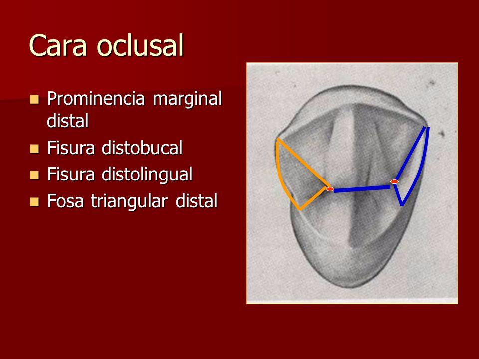 Cara oclusal Prominencia marginal distal Fisura distobucal
