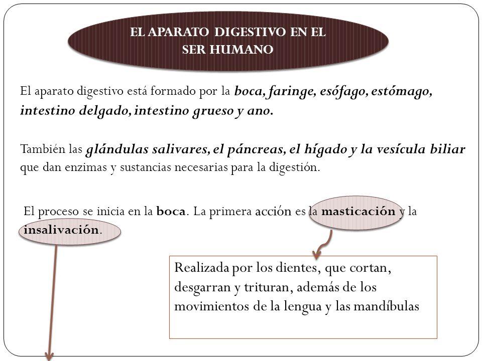 EL APARATO DIGESTIVO EN EL SER HUMANO